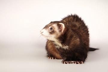 Brown ferret portrait