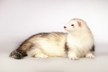 Ferret beauty laying on background
