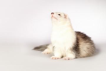 Nice ferret posing in studio