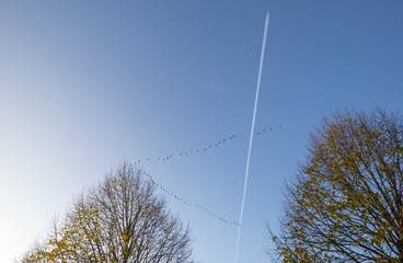 Flight of geese below an aircraft at fall