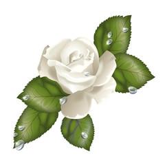Rosa bianca e Rugiada
