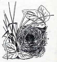 Nest of leaf warbler