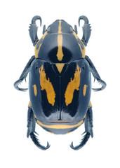 Beetle Rutela lineola