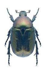 Beetle Protaetia angustata