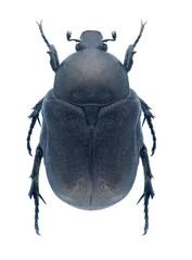 Beetle Protaetia opaca