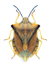 Bug Carpocoris fuscispinus