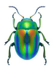 Beetle Chrysolina fastuosa