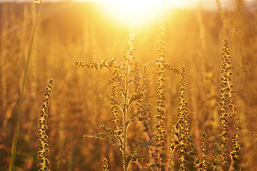 Golden sunset and ambrosia meadow, rural scene
