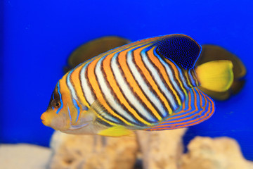 Regal Angelfish (Pygoplites diacanthus) in Japan