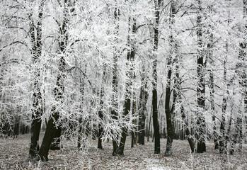 Snow autumn forest