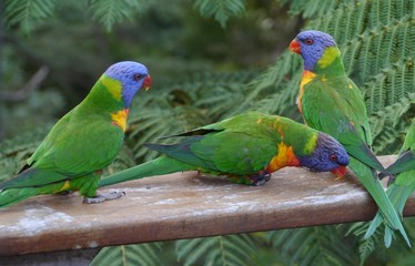 Colorfulm rainbow lorikeets on a balcony in the city