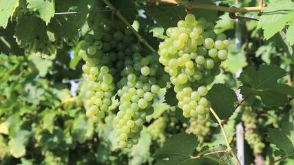 Wein - 011 - Trauben - weiss