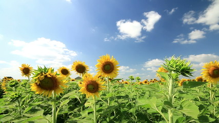 Sunflowers in breeze on wind,clouds blue sky background.