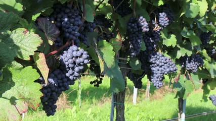 Wein - 012 - Trauben - rot