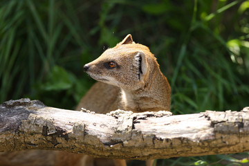 Close up of a Yellow Mongoose