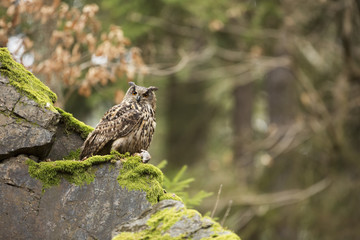 Eurasian Eagle Owl with prey