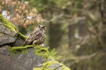 Eurasian Eagle Owl with prey