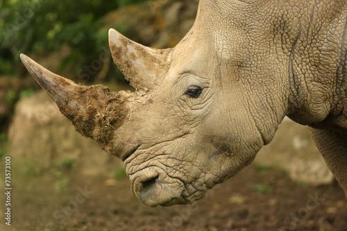 Tuinposter Neushoorn Close up of a White Rhino