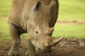 Close up of a White Rhino
