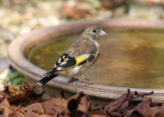 Close up of a young Goldfinch on a water dish