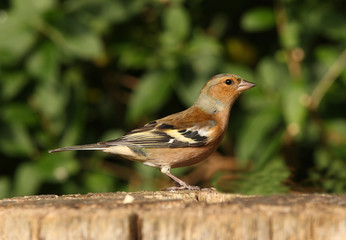 Portrait of a male Chaffinch in autumn