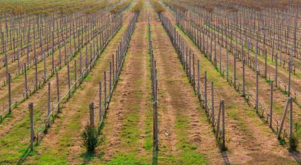 vineyard of Grapes
