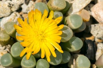 Flower of Fenestraria rhopalophylla, Aizoaceae, South Africa