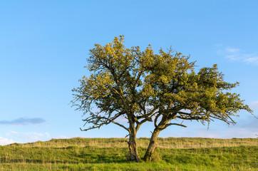 Kleiner Obstbaum