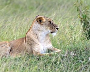 Lions Masai Mara