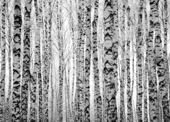 Zima pnie drzew brzozy do salonu