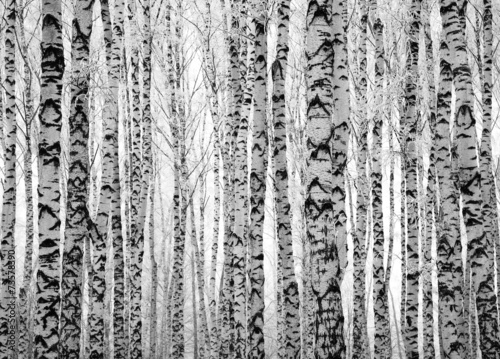 Poster Winter trunks birch trees