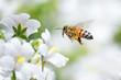 Honeybee - 73579908
