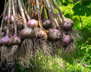 Garlic bulbs harvest or crop in hands
