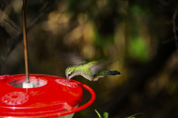 Hummingbird Feeding Wings Showing Motion