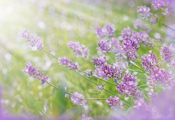 Lavender illuminated by the sunlight