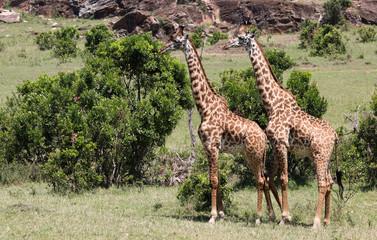 zwei Giraffen