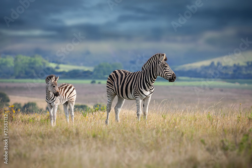Papiers peints Antilope Zebra mother and calf