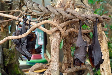 Large flying foxes, Bali, Indonesia
