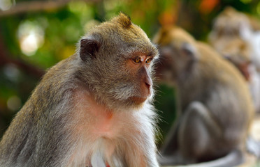 Bali macaque, Bali, Indonesia
