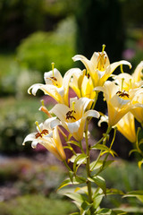 Yellow lilly flower