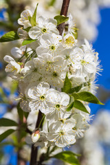 White Inflorescence of Cherry on a Blue Sky Background.