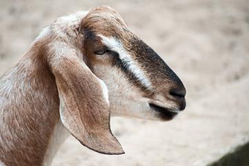 Chèvre femelle