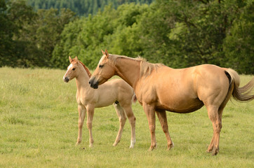 American paint mare and colt