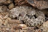 Southern Pacific Rattlesnake (Crotalus viridis helleri). poster