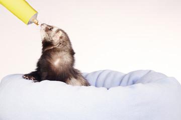 Ferret getting reward