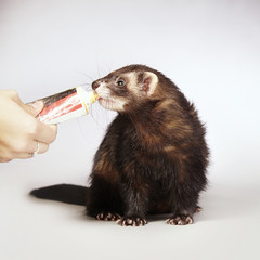 Rewarding ferret