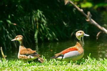 Lesser whistling ducks