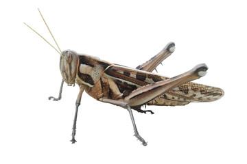 Bombay Locust 1
