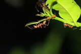 Ants on a covert lime leaves poster