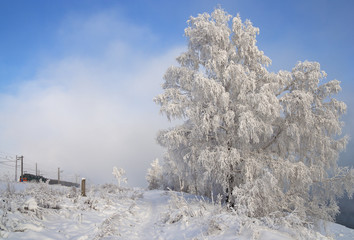 Birch in winter plumage in Irkutsk